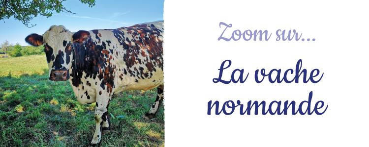zoom sur la vache normande Graindorge