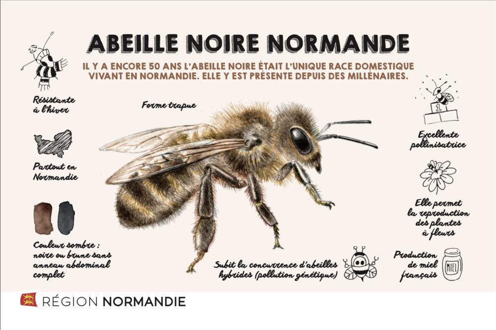 abeille noire de normandie
